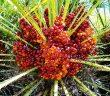 saw palmetto czyli palma sabałowa